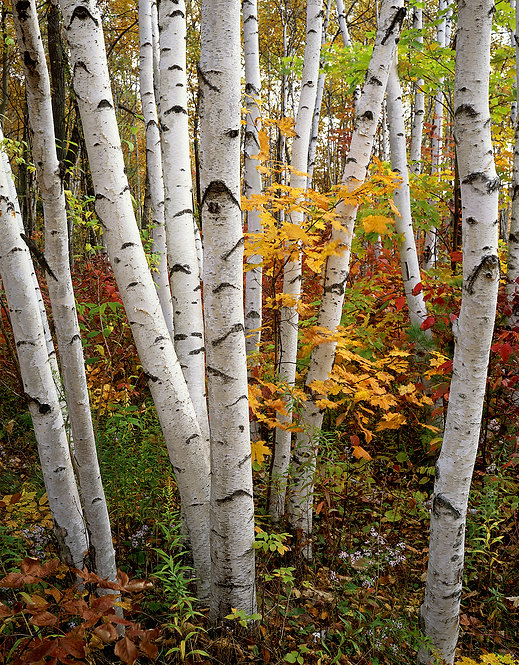 White Birch Grove