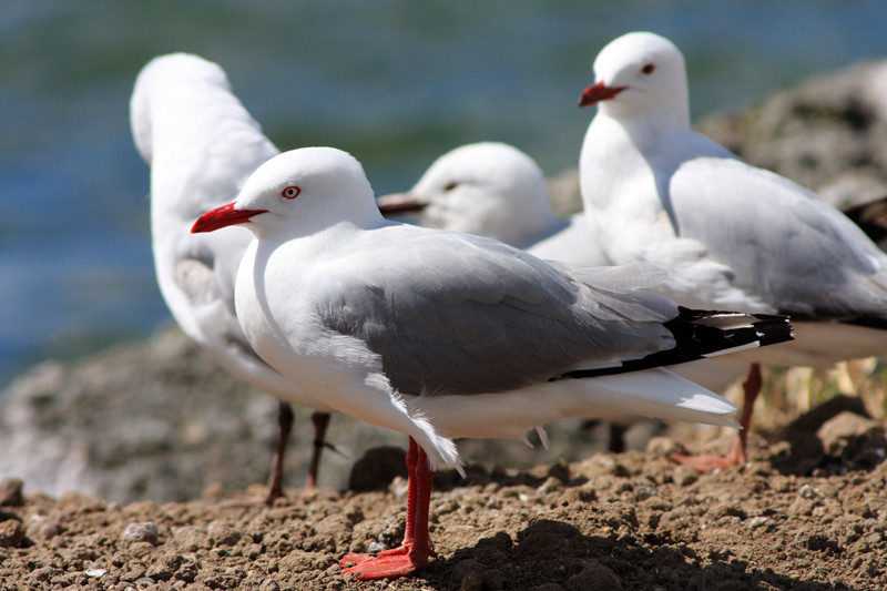 gullible gulls have ceased searching in vain for tossed chips beside the Tweed River.