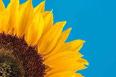sunflower.david-travis-zYT6u51a0BU-unspl
