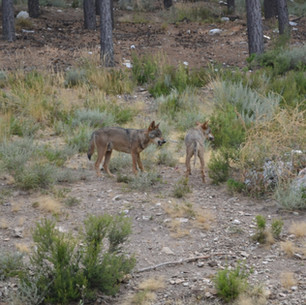 Iberian Wolf Sanctuary