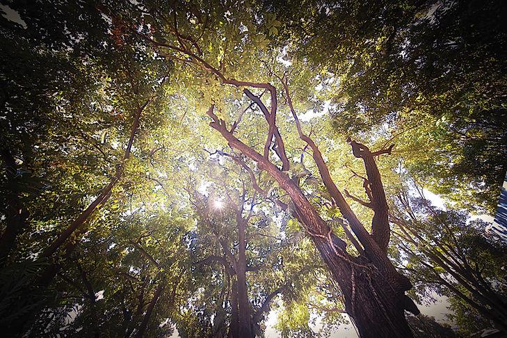 2018_Distillery_MangoTrees_1.jpg