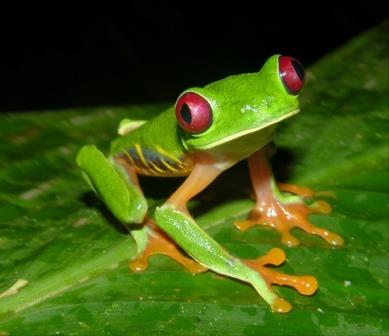 Red-Eyed Frog - Consejo Shores, Belize