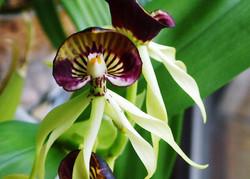 Consejo Shores Orchid