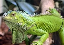 Consejo Shores - Green Iguana