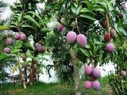 Mango Tree - Consejo Shores