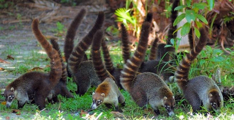 Consejo Shores, Belize - Coatimundi