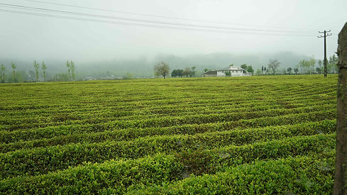 03_Qazvin_tea-field-light.jpg