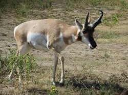 Pronghorn Antelope near Monarch MT
