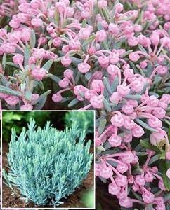 ANDROMEDA polifolia Blue Lagoon_edited.jpg