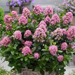 escallonia laevis pink elle.jpg