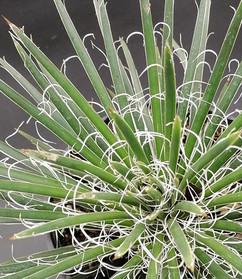 AGAVE germiniflora_edited.jpg