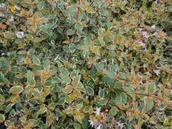 ABELIA grandiflora Steredenn 'Levabes'.jpg