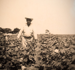 my grandfather Jose checking the cotton