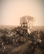 my paternal grandfather picking cotton in Louise