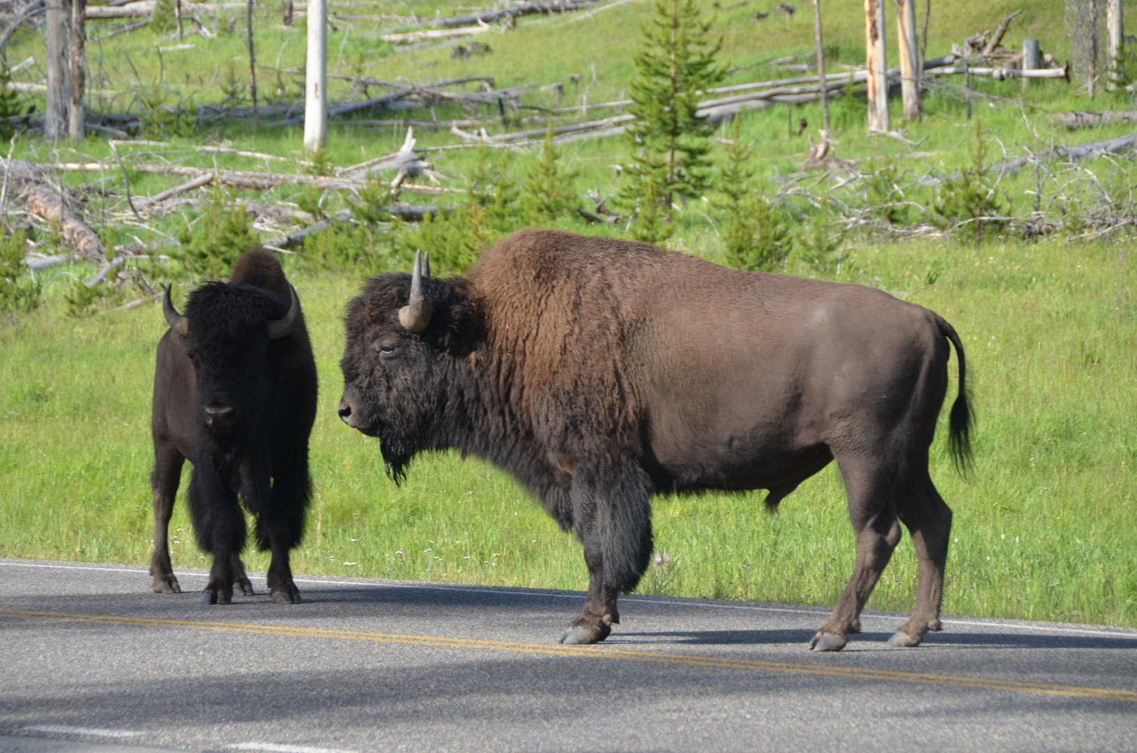 Bison in the Road.jpg
