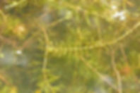 Invasive Eurasion Water Milfoil