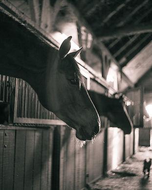 horses-786239_1920.jpg