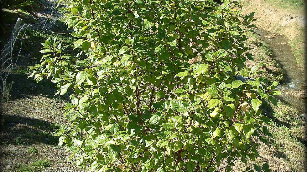 Wineberry (Aristotelia Serrata)