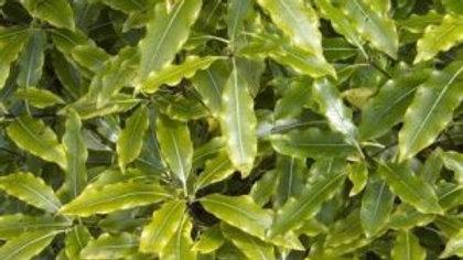 Lemonwood (Pittosporum Eugenioides)