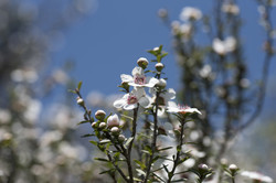 New Zealand native Manuka flowers.jpg