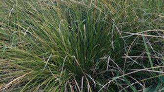 Pukio (Carex Virgata)