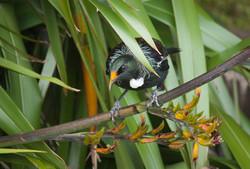 New Zealand Tui bird sitting on flax.  .