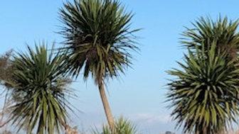 Cabbage Tree (Cordyline Australis)