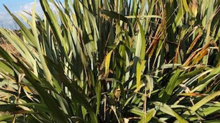 Mountain Flax (Phormium Cookianum)