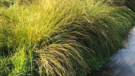 Purei (Carex Secta)