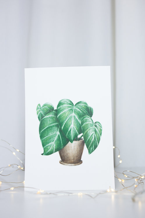 illustration  Philodendron