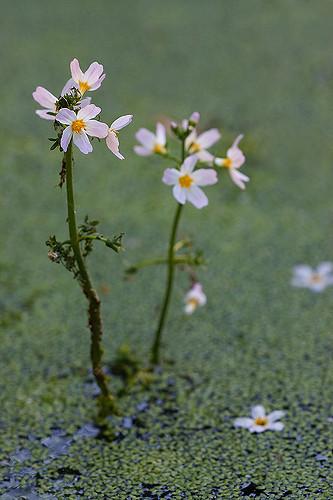WATER VIOLET-Hottonia palustris-para equilibrar personalidades reservadas e distantes