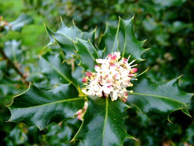 HOLLY-Ilex aquifolium-ódio, inveja e ciúme