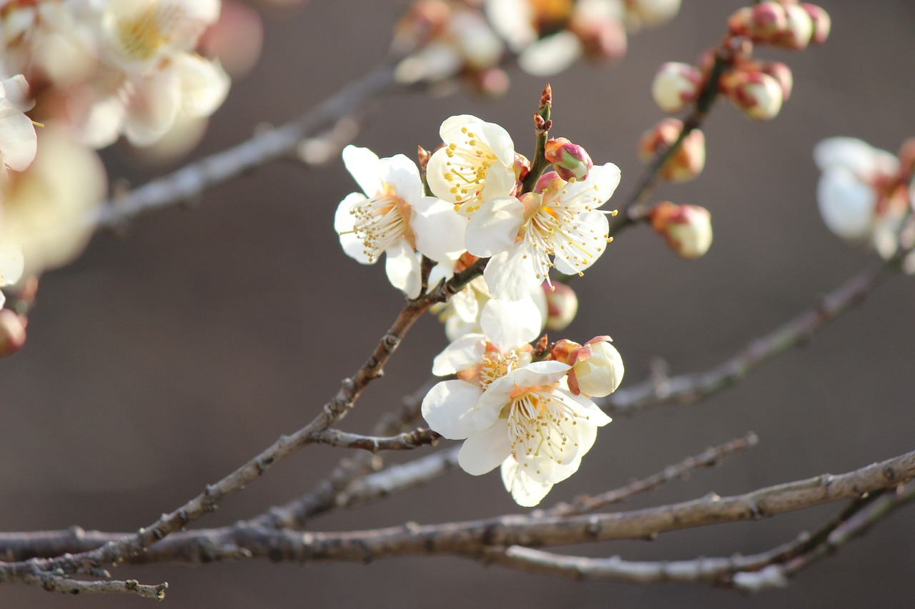CHERRY PLUM-Prunus cerasifera-medo de perder o controle