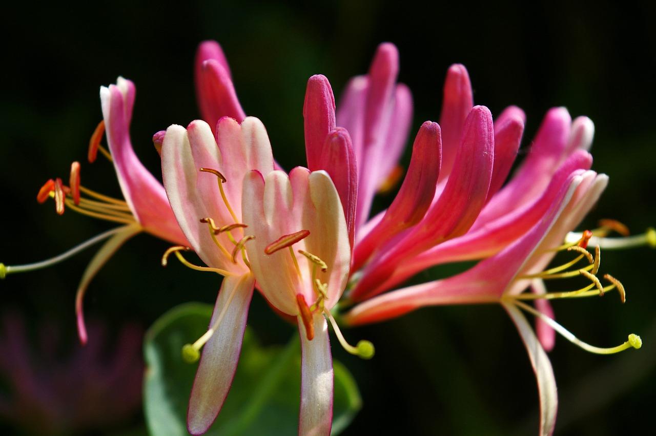HONEYSUCKLE-Lonicera caprifolium-Para os que vivem no passado