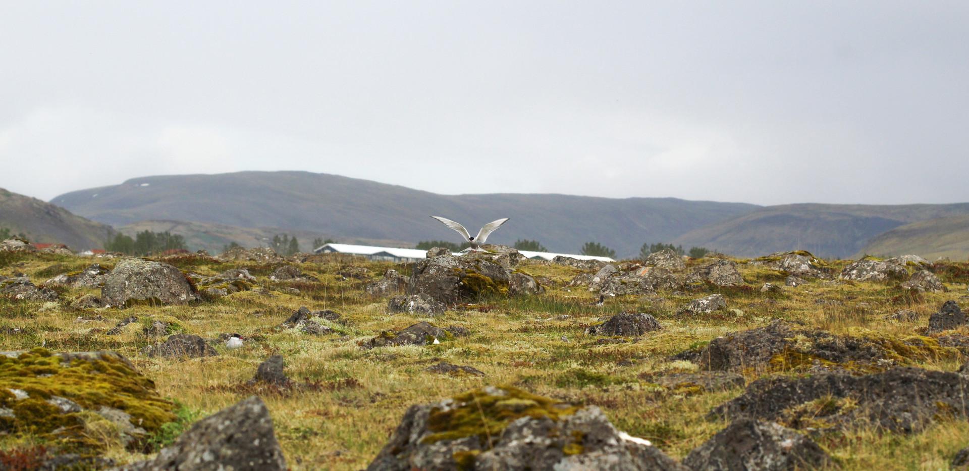 Iceland - golf - birds - mosfellsbaer golf