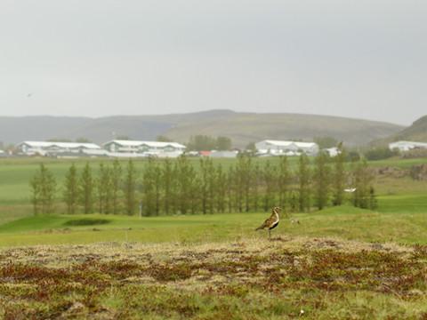 Iceland - Mosfellsbaer Golf - Golfklúbbur Mosfellsbæjar - Hlidavollur - Hlíðavöllur - birds 4