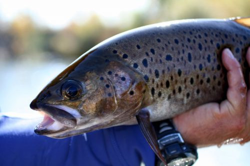 trout-mongolia-fly-fishing-500x333.jpg