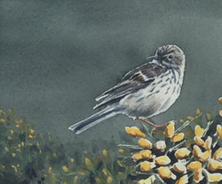 Meadow pipit at Dunwich - SOLD