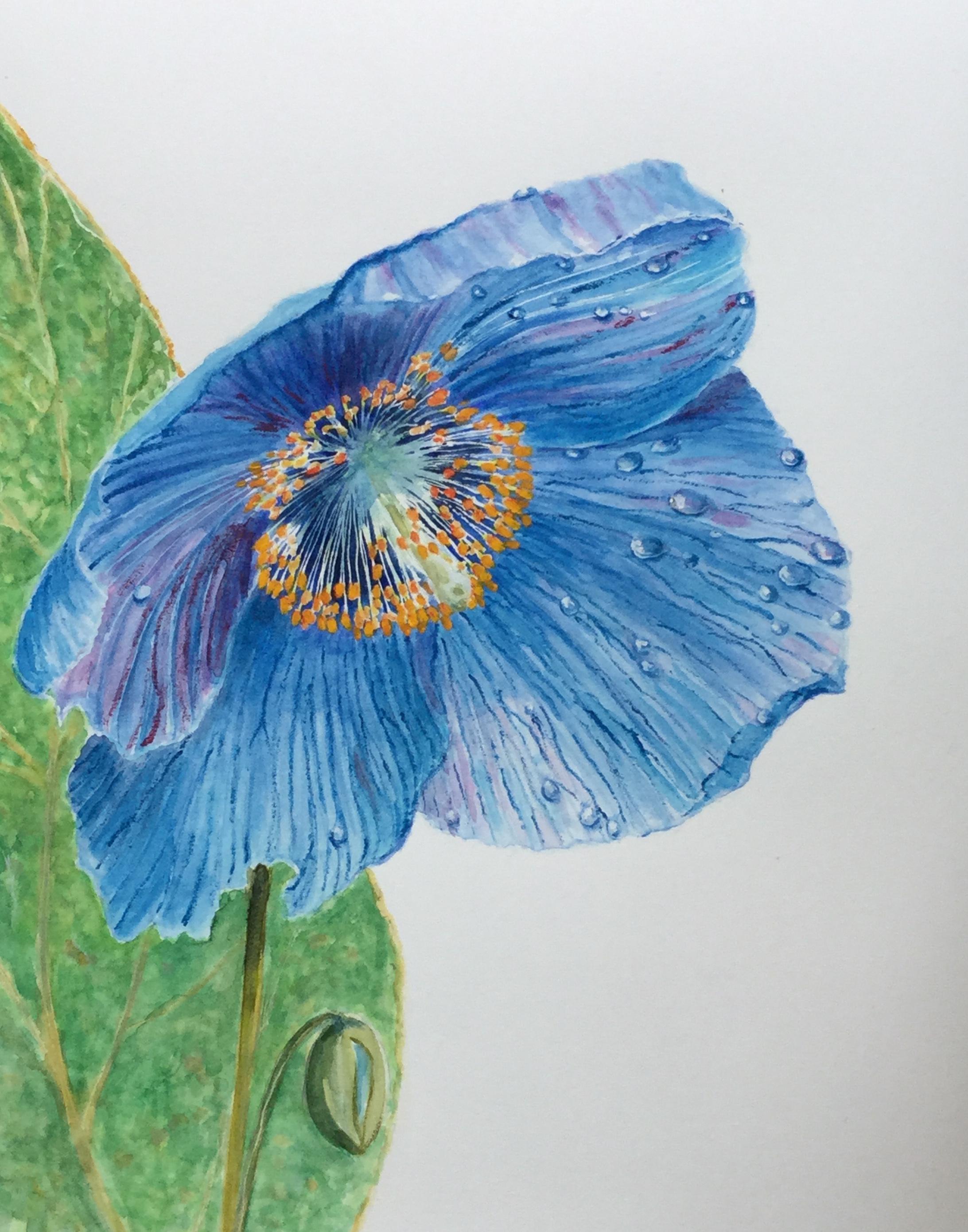 Himalayan Blue Anemone - £25