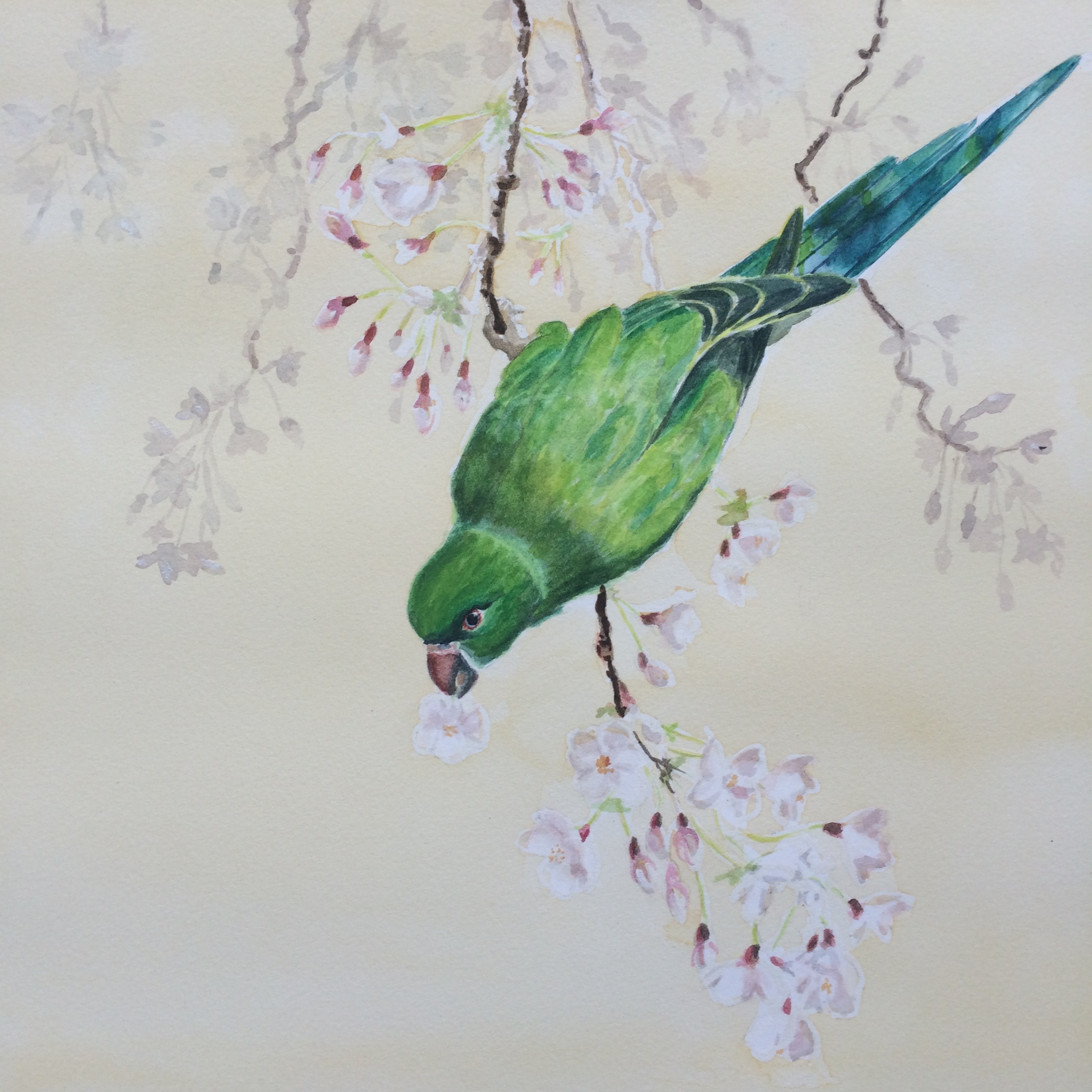 Richmond Parakeet
