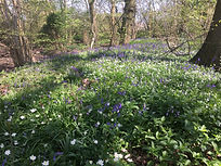 Wood anenomes and bluebells by David Findley