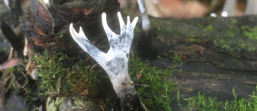 stag's horn fungus