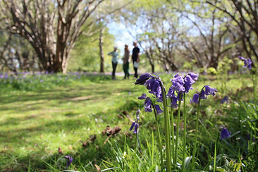Kit's exhibition entry bluebells.jpg