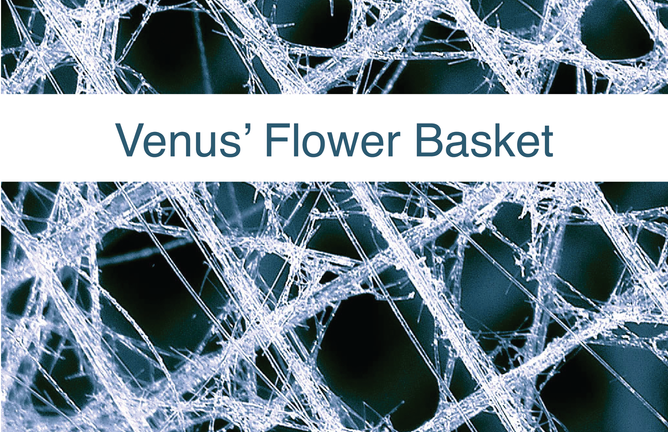 Biomimicry Research - Venus' Flower Basket