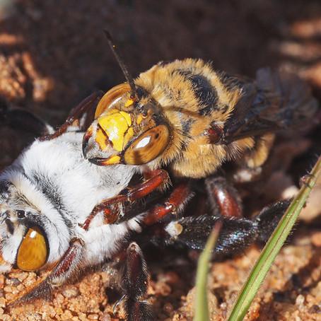 The Amazing Aussie Bee Amegilla (Asarapoda) dawsoni