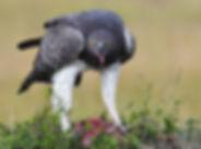 Martial Eagle eating.jpg