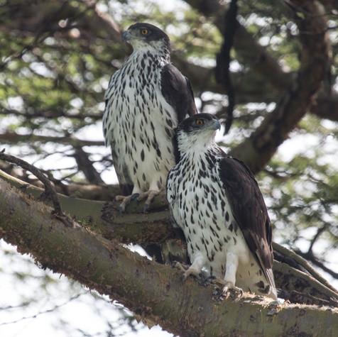 African Hawk-eagle