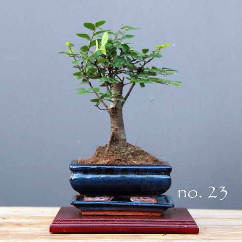 Çin Karaağacı Bonsai - Ulmus parvifolia No.23