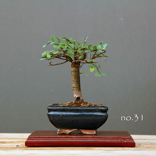 Çin Karaağacı Bonsai - Ulmus parvifolia No.31