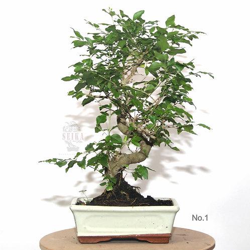 Ligustrum 'S Gövde' Bonsai (Büyük) - Ligustrum sinensis
